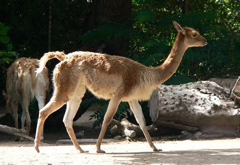 vicuna - Wiktionary