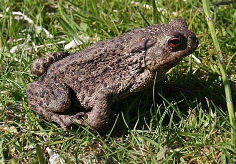 Toxic Bufo Toad Kills Dog In Florida, Poses Danger To